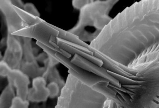 Muestrario de algas fitoplanctónicas II. Heterococolitofóridos 2ª parte.