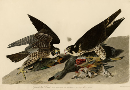 Ciencia y lápices II: John James Audubon