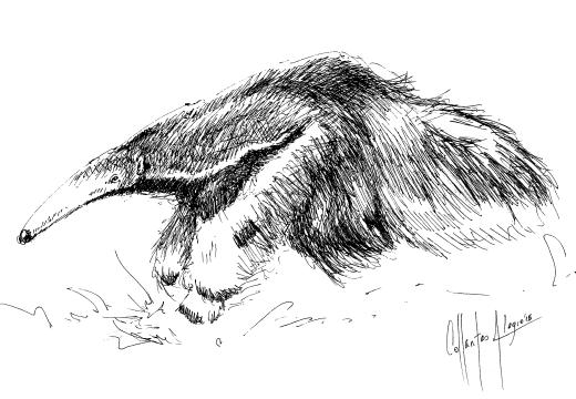 Fauna guaraní: Yurumí u oso hormiguero gigante