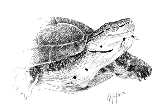 Fauna guaraní: tortuga campanita