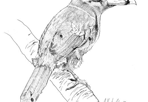 Fauna guaraní: Arasarí chico