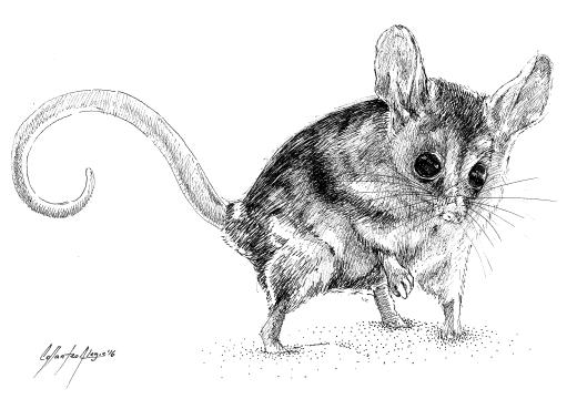 Fauna guarani – marmosa