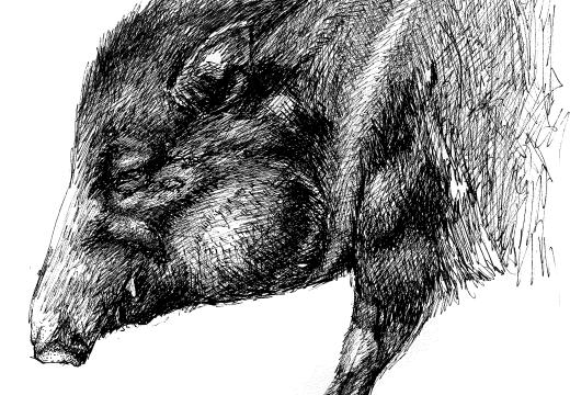 Fauna guaraní: el pecarí