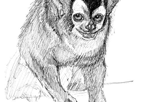 Fauna guaraní: el mono nocturno