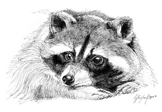 Fauna náhuatl – mapache boreal