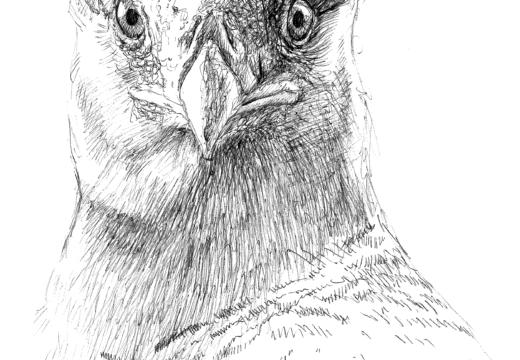 Fauna guaraní: El carancho