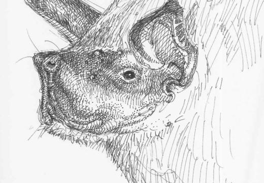 Fauna guaraní: Murciélago pescador
