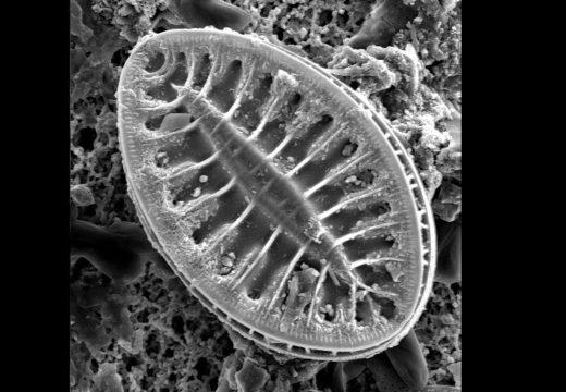 Muestrario de algas fitoplanctónicas V. Diatomeas pennadas