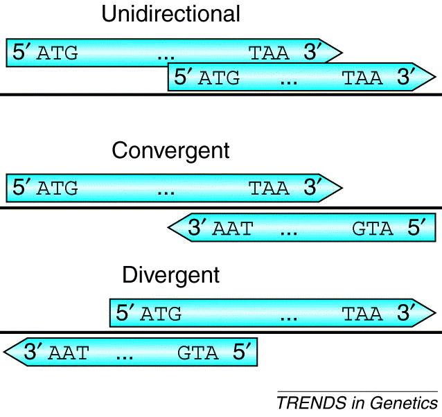 Tipos de superposición de genes.