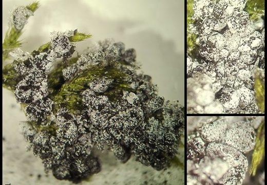 El arca de Carlos: Badhamia foliicola