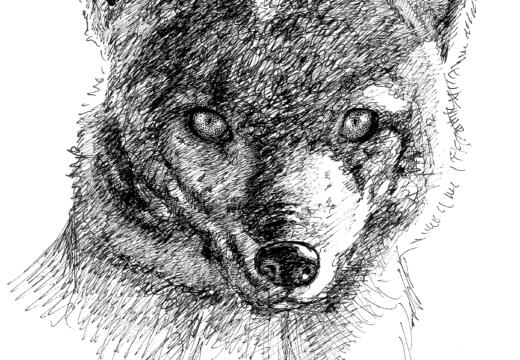 Fauna guaraní: Zorro de monte