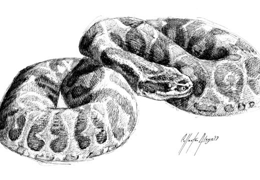 Fauna guaraní – Yarará